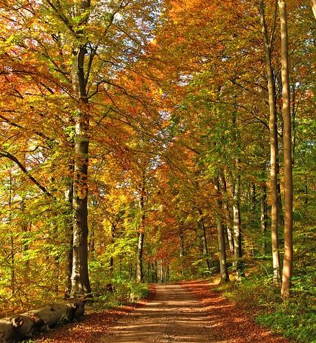 road wood autumn trees friends fall forest denmark path beech beechwood coth natureselegantshots 100commentgroup virtualjourney saariysqualitypictures updatecollection sailsevenseas