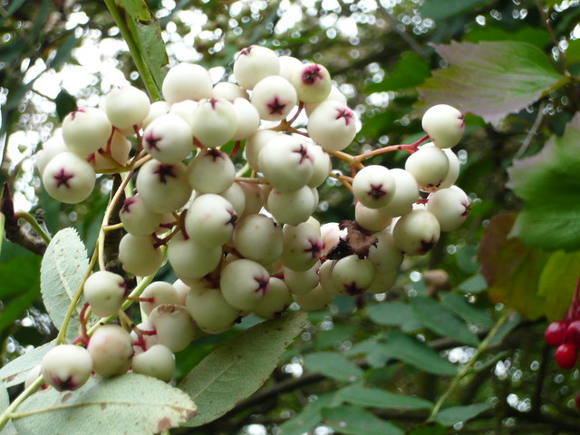 Sorbus cashmiriana (Kashmir Rowan Tree)