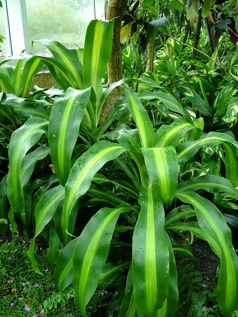 corn plant dracaena fragrans 39 massangeana 39 a photo on. Black Bedroom Furniture Sets. Home Design Ideas