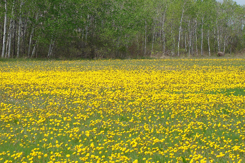 flowers yellow rural outdoors spring may manitoba dandelion bloom vita 2011