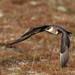 Kjói (Stercorarius parasiticus) - Arctic Skua