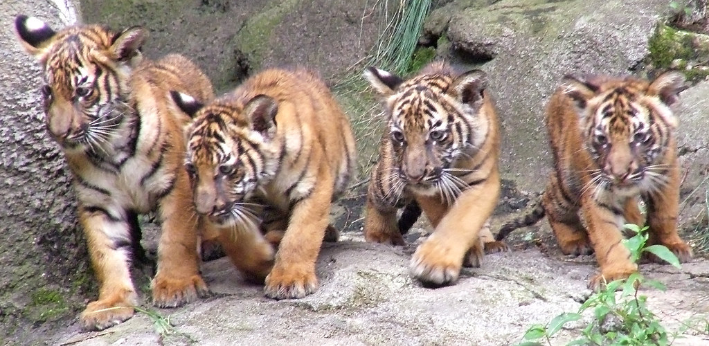 Malayan Tigers - Four, yet unnamed, brothers. 15 Weeks old.