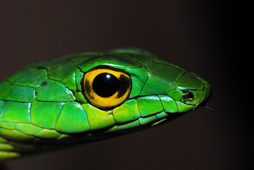 macro eye latinamerica nature america nikon rainforest snake wildlife conservation parrot honduras andrew research jungle latin tropical serpent cloudforest biology snyder animalia herp centralamerica biodiversity herpetology 105mm reptilia colubridae cusuco chordata serpentes nikon105mm squamata parrotsnake operationwallacea opwall specanimal ahaetulla merendon montanecloudforest taxonomy:class=reptilia taxonomy:kingdom=animalia taxonomy:phylum=chordata taxonomy:order=squamata taxonomy:suborder=serpentes theunforgettablepictures leptophis andrewsnyder taxonomy:family=colubridae cusuconationalpark taxonomy:genus=ahaetulla asnyder5 andrewmsnyder