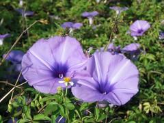 pansy(0.0), pinkladies(0.0), annual plant(1.0), ipomoea violacea(1.0), flower(1.0), purple(1.0), ipomoea alba(1.0), plant(1.0), wildflower(1.0), flora(1.0), petal(1.0),