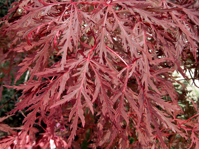 acer palmatum var dissectum 39 atropurpureum 39 japanese. Black Bedroom Furniture Sets. Home Design Ideas