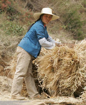 Farmer collecting crop residues for livestock feed in Yunnan