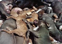 dog sports(0.0), animal sports(0.0), great dane(0.0), hound(0.0), sports(0.0), guard dog(0.0), greyhound(0.0), weimaraner(0.0), animal(1.0), pit bull(1.0), dog(1.0), pet(1.0), mammal(1.0),