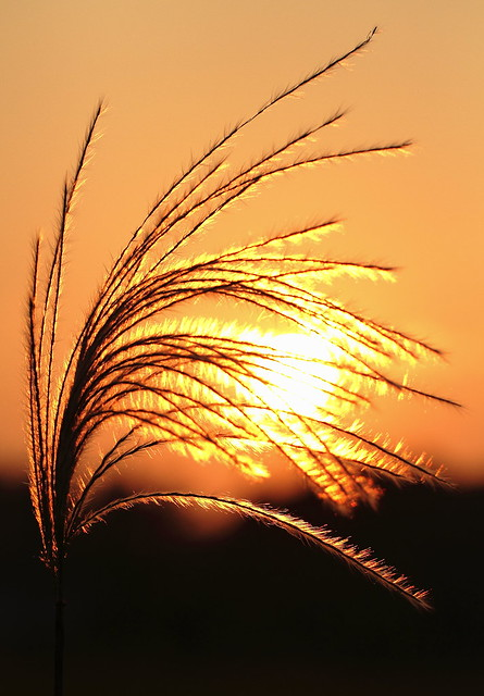 Withered silver grass