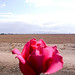 Small photo of A Rose for Amira......