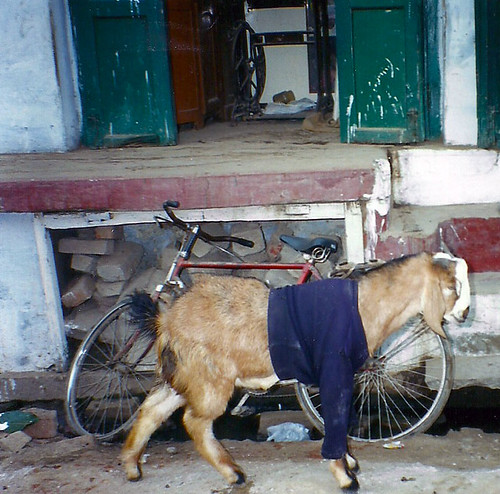 Cold Goat Varanasi India