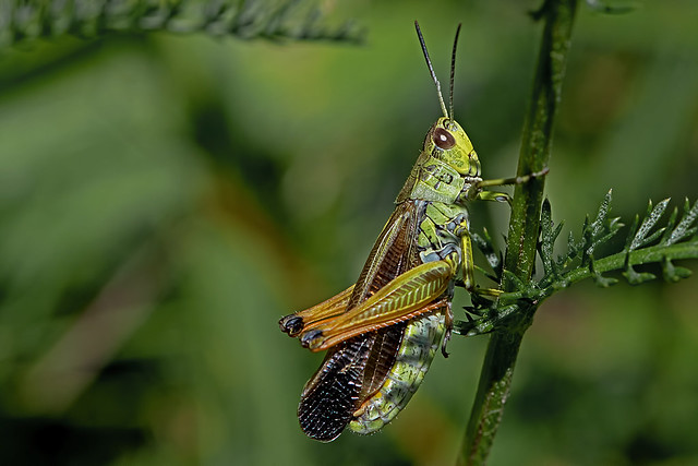 Stauroderus scalaris - the Large Mountain Grasshopper (male)
