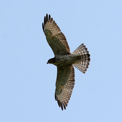 harrier, animal, hawk, bird of prey, falcon, wing, fauna, buzzard, accipitriformes, kite, bird, flight,