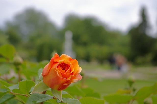 Orange and Pink Rose