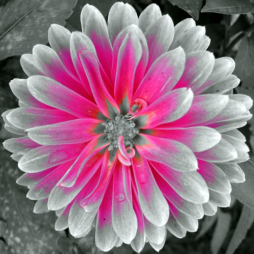 Czeshop Images Black And White Photography Flowers With Color Accents