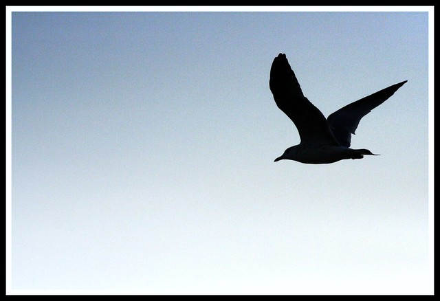 Seagull Silhouette | Flickr - Photo Sharing!