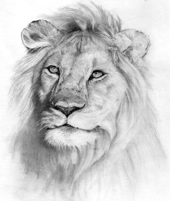 lion. Pencil drawing | Pencil drawing (unfinished ...