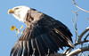 Bald Eagle Wallpaper for Widescreen