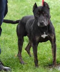 Greyhound Pitbull Mix