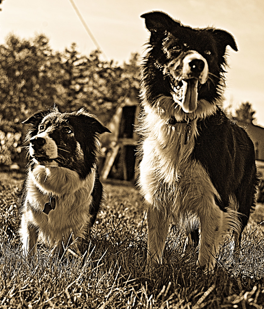 Border Collie Puppies For Sale In Ohio Border Collie Puppies For