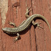 Common Wall Lizard - Photo (c) Loran, some rights reserved (CC BY)