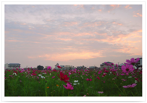 world life county travel flowers light sunset shadow sky sunlight flower color nature clouds sunrise garden season landscape outdoors photography photo flora scenery asia cityscape tour natural image earth explorer seasonal scenic taiwan environmental explore vision kaohsiung environment moment formosa 花 台灣 高雄 scape 旅行 2009 臺灣 asteraceae cosmos 風景 旅遊 生態 写真 影像 光影 攝影 土地 映像 bipinnatus 環境 寫真 亞洲 橋頭 peterchen 大波斯菊 花田 花道 菊科 福爾摩沙 打狗 港都 chiaotou 寶島 花田喜事 apathwayhomecom