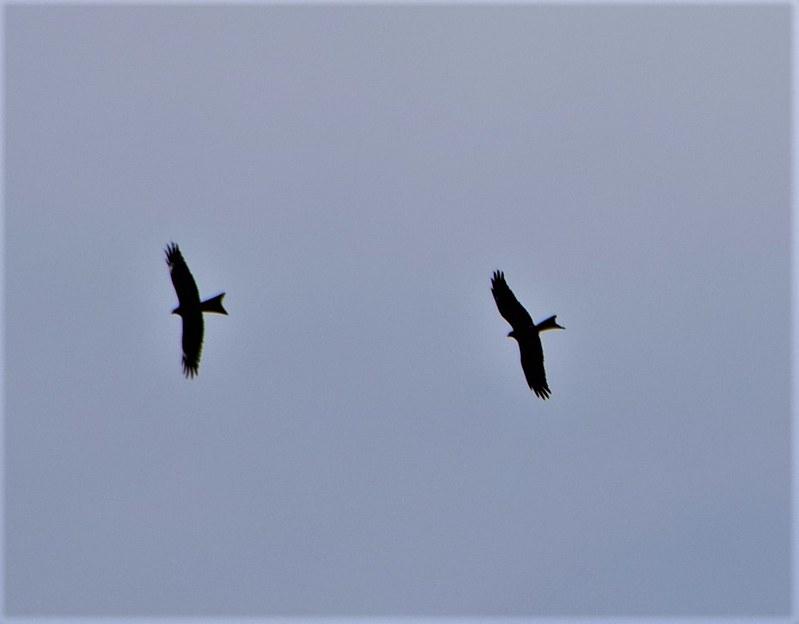 Red Kite 23.02 (15)