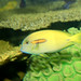 Small photo of Orangeband Surgeonfish Acanthurus olivaceus