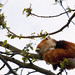 Chester Zoo: Red Panda 01