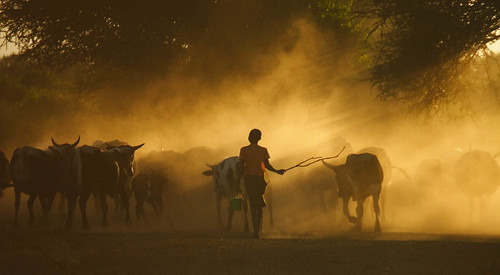 Cattle herded home in the evening in Mozambique