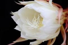 flower, yellow, white, macro photography, flora, close-up, epiphyllum oxypetalum, pink, petal,