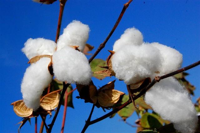 Organic-grown cotton ©Zameen Organic