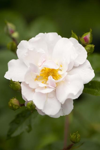Hybrid Musk Rose Flickr Photo Sharing