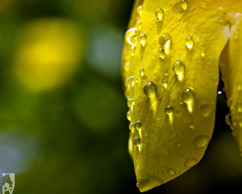 macro yellow canon bokeh guatemala amarillo droplet gota eos50d pal1970