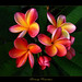 Rare Flowers - The Plumeria Orange Rainbow