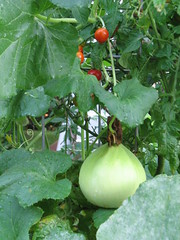 Honeydew on Tomato Plant
