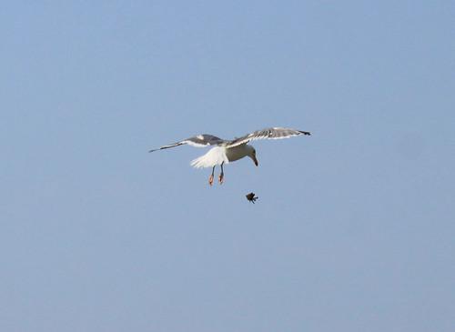Herring Gull detail
