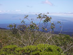 Fruit tree on caldera