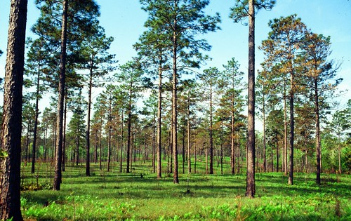 Longleaf pine forest ecosystems are heavily dependent on controlled burns to maintain ecosystem health and vitality. (Photo: William D. Boyer, U.S. Forest Service)
