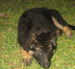 dog breed, animal, dog, bohemian shepherd, east-european shepherd, carnivoran,