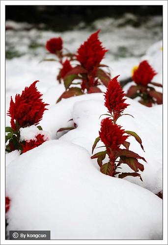 图:穗状鸡冠花