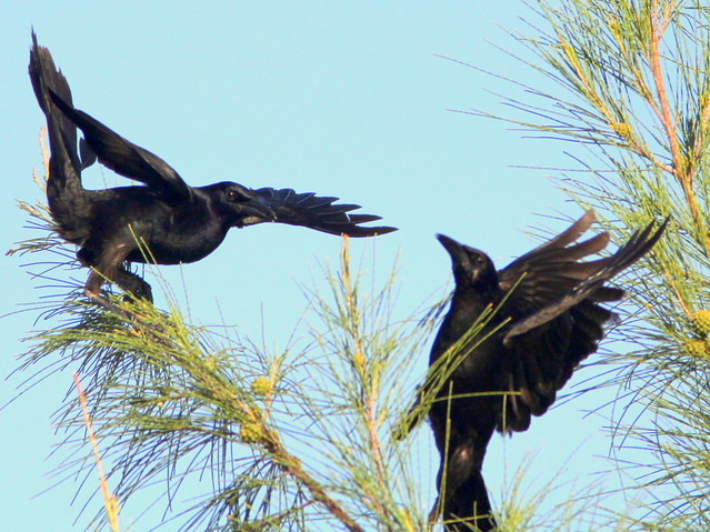 Boat-tailed Grackle fight 20110526