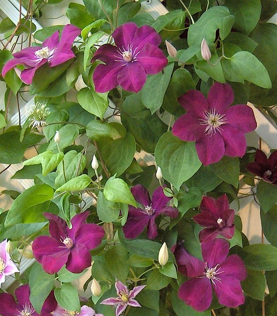 clematis 39 rouge cardinal 39 clematis jackmanii 39 rouge. Black Bedroom Furniture Sets. Home Design Ideas