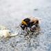 Wet Bumblebee by Disco Cat