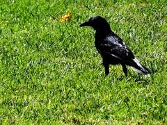 eurasian magpie(0.0), magpie(0.0), animal(1.0), grass(1.0), raven(1.0), crow(1.0), green(1.0), fauna(1.0), american crow(1.0), beak(1.0), blackbird(1.0), bird(1.0), wildlife(1.0),