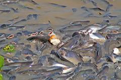 Feeding frenzy in the Chao Phraya river in Bangkok