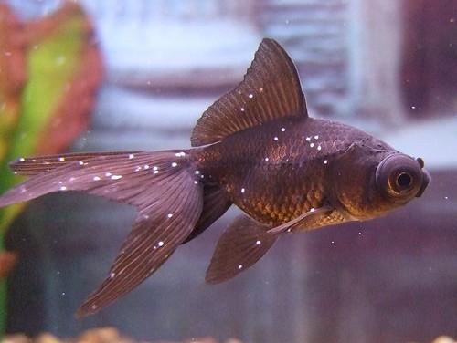 Treatment my aquarium club for Tropical fish diseases