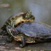 Slider Turtles - Photo (c) Loran, some rights reserved (CC BY)
