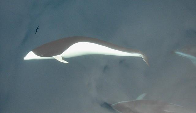 Delfín liso del sur (Lissodelphis peronii)