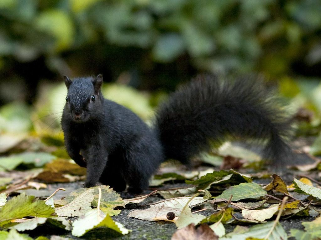 Meet the Black Squirrel