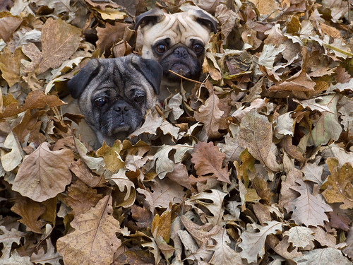 Ming & Mojo in the leaves